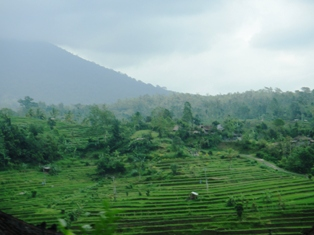 Bali - rice fields 1