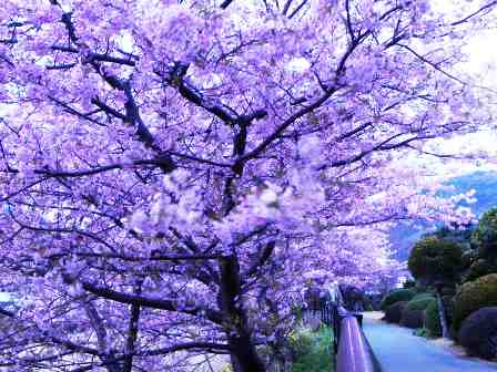 Daniel - Japanese Cherry Trees